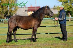 Hucul - stallion Weksel-O
