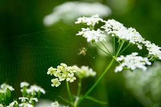 Hanging in there  #Nature  #Spider  #Insect  #Flower  #Closeup  #Macro  #Spiderweb  #Fragile  #White  #Delicate  #Color  #Blur  #Flora  #Fauna  #Photographer  #Photography