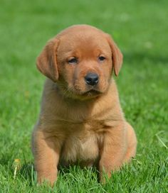 Fox Red English Lab Pups - Family Loved Labs -English Labradors for Sale Funny Cats And Dogs, Pet Dogs, Dog Cat, Doggies, Fox Red Labrador, Labrador Retriever, Cute Puppies, Dogs And Puppies, English Labrador