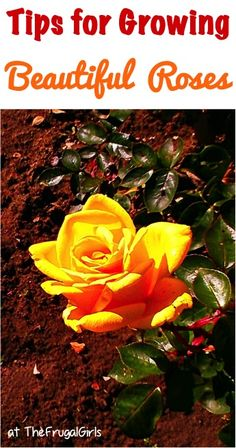Tips for Growing Beautiful Roses! ~ from - you'll love these tried and true gardening tricks for your rose Tips for Growing Beautiful Roses! ~ from - you'll love these tried and true gardening tricks for your rose garden! Growing Roses, Growing Plants, Growing Tomatoes, Easy Garden, Lawn And Garden, Beautiful Roses, Beautiful Gardens, Container Gardening, Gardening Tips