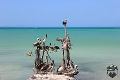 Travel Tips to visit Isla Hollbox, Mexico´s finest beach #Mexico #beach #cancun #paradise,#pelicans