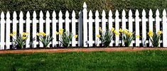 A white picket fence in front of hedges with a row of daffodils to the front of the hedges.