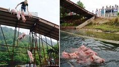 Pigs pushed off bridge in Central China to celebrate May Day! Tell authorities pigs can't fly! | YouSignAnimals.org