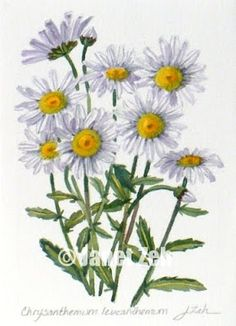 Zeh Original Art Blog Watercolor and Oil Paintings: Wild Daisies Botanical Painting - Chrysanthemum le...