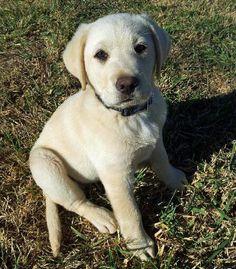 Spud the Labrador Retriever-Cute little Tater Tot!
