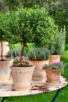 Topiary in lovely clay pot