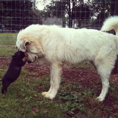 1818 Farms pig lovin'. The great pyrenees and the pot belly pig!