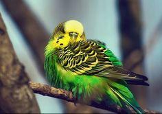 sleeping parakeet with beautiful colors