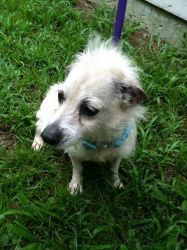 Star (spayed) is an adoptable Chihuahua Dog in Chipley, FL. This is 'star' chihuahua/wire haired terrier mix, female, star is a senior around 6-7 years old, she has been fixed and only 10 lbs seems go...
