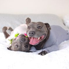 Adorable Pit Bull Brothers Will Instantly Make Your Day Better Staffordshire Bull Terrier, Pit Bull Terrier, Dog Breed Names, Dog Breeds, Pet Dogs, Dogs And Puppies, Pets, Doggies, Fluffy Puppies