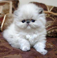 persian kittens for sale in Houston Texas | kittens to adopt to adopt for free 2 himalayan kittens