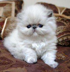 persian kittens for sale in Houston Texas | kittens to adopt to adopt for free 2 himalayan kittens