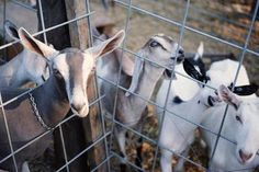 Goats behind fence - CJIdone/Stockbyte/Getty Images