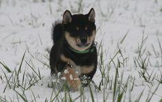 Shiba Inu Hunde Zucht of isamashii Nakama
