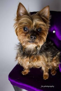 Meet Millie, a Petfinder adoptable Yorkshire Terrier Yorkie Dog | Baton Rouge, LA | Adoption Fee: $250Fostered in LouisianaAge: 8 yearsWeight:8.8 lbs.11/12/14 - Millie is doing...