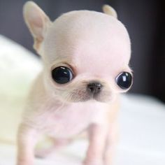 Top 10 Smallest Dog Breeds: Animals, Pictures Baby, Pets, Baby Yorkies, Puppys, Dogs ?, Little Dogs, Eye