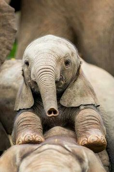 Baby Elephant - love the heart nose! Cute Baby Animals, Animals And Pets, Funny Animals, Wild Animals, Beautiful Creatures, Animals Beautiful, Animal Original, Elephant Love, Baby Elephants