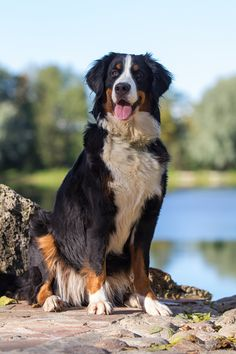 Bernese Mountain Dog ~ by Nika Petrova**