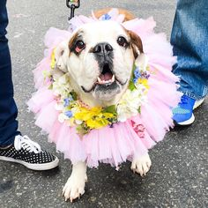 Chichi English Bulldog (5 y/o) 2016 Easter Parade & Bonnet Festival New York NY  Happy Easter!  #thedogist