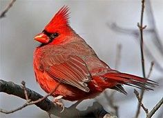 Northern Cardinal.  When I see them here, they are a richer red and less plump looking.