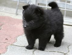 schipperke -  I had one of these dogs in middle school named Blitz - loved my little bear cub and miss him so much