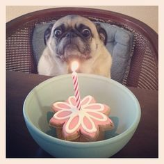 funny dogs, happy birthdays, birthday treats, the face, getting older, candl, puppi, pug, birthday cakes