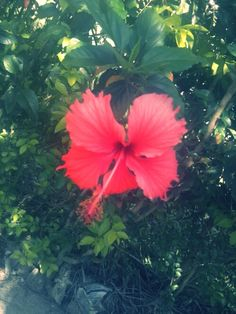 Flor Hibiscus (Jardim da Tia Rosilda)