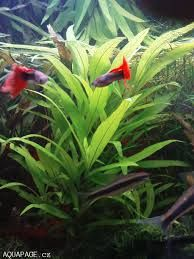 Aquarium Plants - Aquarium Fish Advisor Live Aquarium Plants, Planted Aquarium, Aquarium Fish, Aquascaping Plants, Aquatic Plants, Freshwater Fish, Tropical Fish, Fresh Water, Tanks