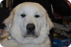 11/29/14 Brooklyn, NY - Great Pyrenees Mix. Meet Snowball, a dog for adoption. http://www.adoptapet.com/pet/12003236-brooklyn-new-york-great-pyrenees-mix