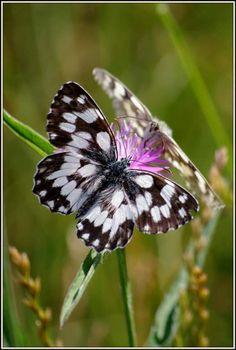 Papillons - Mélanargia galathea (demi-deuil)