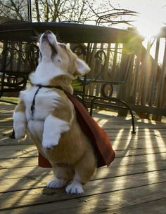 I'm giving my dog a cape on Halloween :)