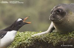 Gentoo Penguin and Elephant Seal face-off - ANZANG 2010 Overall Winner - by Glenn Ehmke