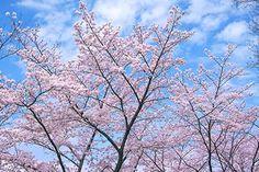青空と雲とピンクの桜木