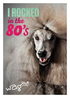 yesss big hair is always in style when you're a poodle