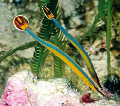 Blue stripe pipefish - i guess the eye on the tail is there to confuse predators Underwater Creatures, Underwater Life, Ocean Creatures, Life Under The Sea, Beneath The Sea, Salt Water Fish, Sea Dragon, Marine Fish, Sea And Ocean