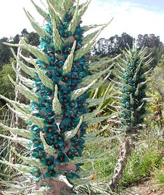 From outer space - I mean Chile - comes the amazing, rare Bromeliad, the Blue Puya (Puya berteroniana)    With its massive, 7 foot flower cluster, this is one of most outrageous plants anywhere.  The turquoise-blue color is very rare in the plant world, and it's even rarer to be combined with orange.  If you like shockingly beautiful plants, you'll want to add this stunner to your collection!