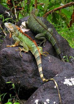 Iguana pair