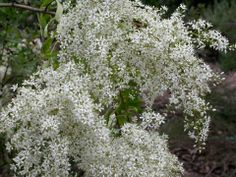 Bursaria spinosa taken by Gill Miueller, Blackwood near Adelaide, via Austrlian Native Plant Enthusiats fb page