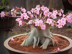 rosa-do-deserto (desert rose) Adenium obesum Planting Succulents, Garden Plants, House Plants, Planting Flowers, Garden Trellis Panels, Desert Rose Plant, Plantas Bonsai, Bonsai Art, Bottle Garden