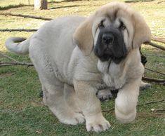 #Spanish #Mastiff