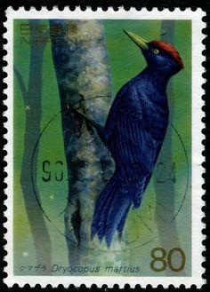 Japón-El Picamaderos Negro, es una especie de ave piciforme de la familia de los Pájaros Carpinteros que se distribuye por los bosques maduros templados y boreales de Europa y Asia.