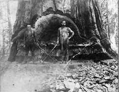 A massive white oak tree logged in West Virginia around the 1800s. Can you imagine what those forests would look like nowadays? Such a tragedy.