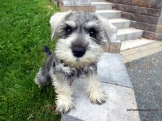 THIS is the dog I want someday. Teacup miniature Schnauzer. Look at that little baby beard and the old man eyebrows!!