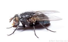 A beautiful blow fly from Matt Bertone, looking left. (photo reproduced here with permission)