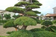 Bonsai ogrodowy bonsai do ogrodu, bonsai ogrodowy, rośliny formowane, bonzai ogrodowy, drzewko bonsai, bonsai formowany, bonsai pro zahradu, niwaki, sosna bonsai, pudełko bonsai, japoński bonsai, bonsai sprzedaż, bonsai pielęgnacja