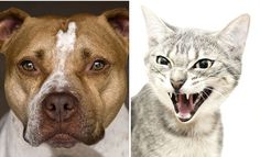 """An elderly cat launched a vicious attack on a gang of seven pit bulls as they walked past it.  It is thought that Baby, described as """"very protective"""" of owner Del Thompson who was doing some gardening at the time, leapt to his defence.  The cat, which adopted Mr Thompson and his wife nearly 16 years"""