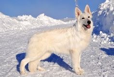 www.danceswithwolvesranch.com #bergerblancsuisse #whiteswissshepherd #whitegermanshepherd
