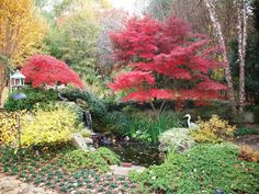 My garden in the fall with brilliant colors from Japanese maples around the pond.
