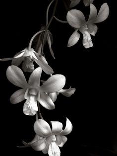 Orchid Sprig Arkamitra Roy (viaelinka:)