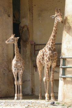 jirafas Animals, Google, Lisbon, Research, Giraffes, Animales, Animaux, Animal, Animais